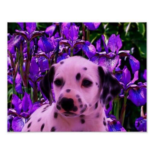 dalmatian with iris