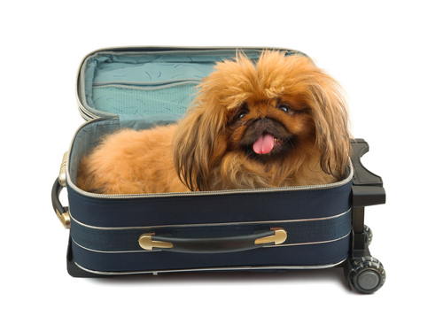 dog in luggage