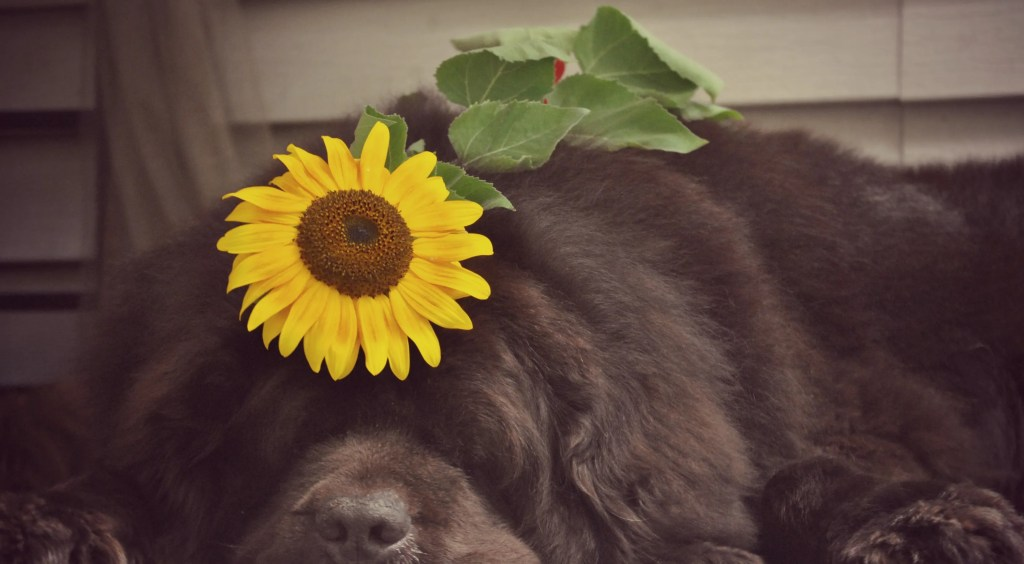 dog with sunflower