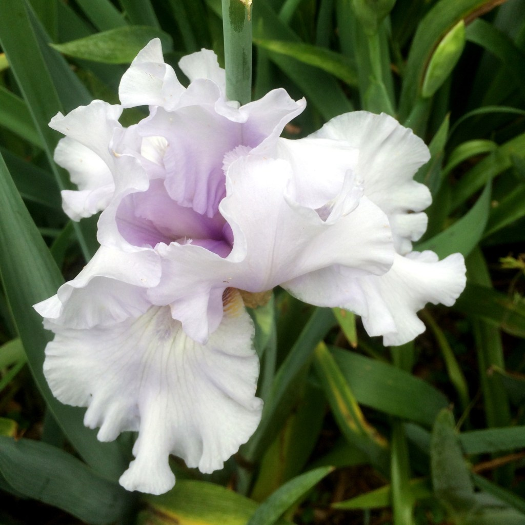 iris flower of the month