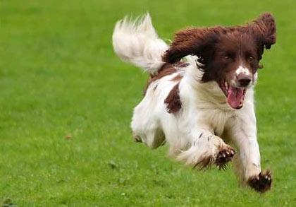 dog-running7