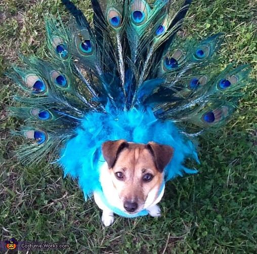 peacock73