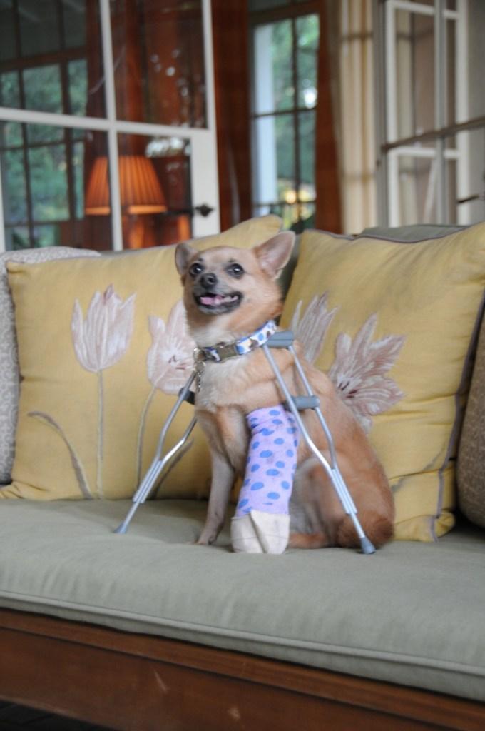 dog on crutches