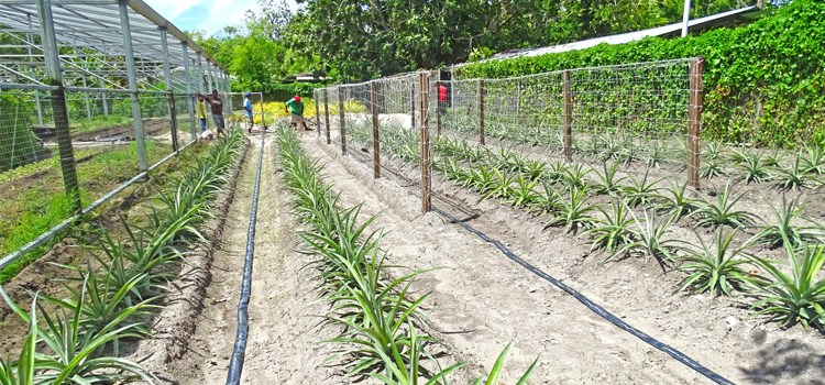Pineapples flourish on Majuro