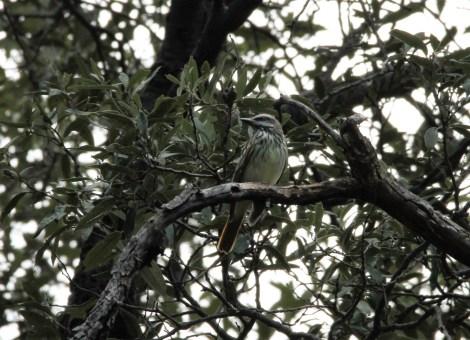 Sulphur bellied flycatcher, Ramsey Canyon, Sierra Vista, AZ