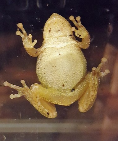 Tree frog belly
