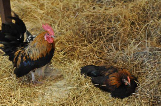 kippen in het hilton