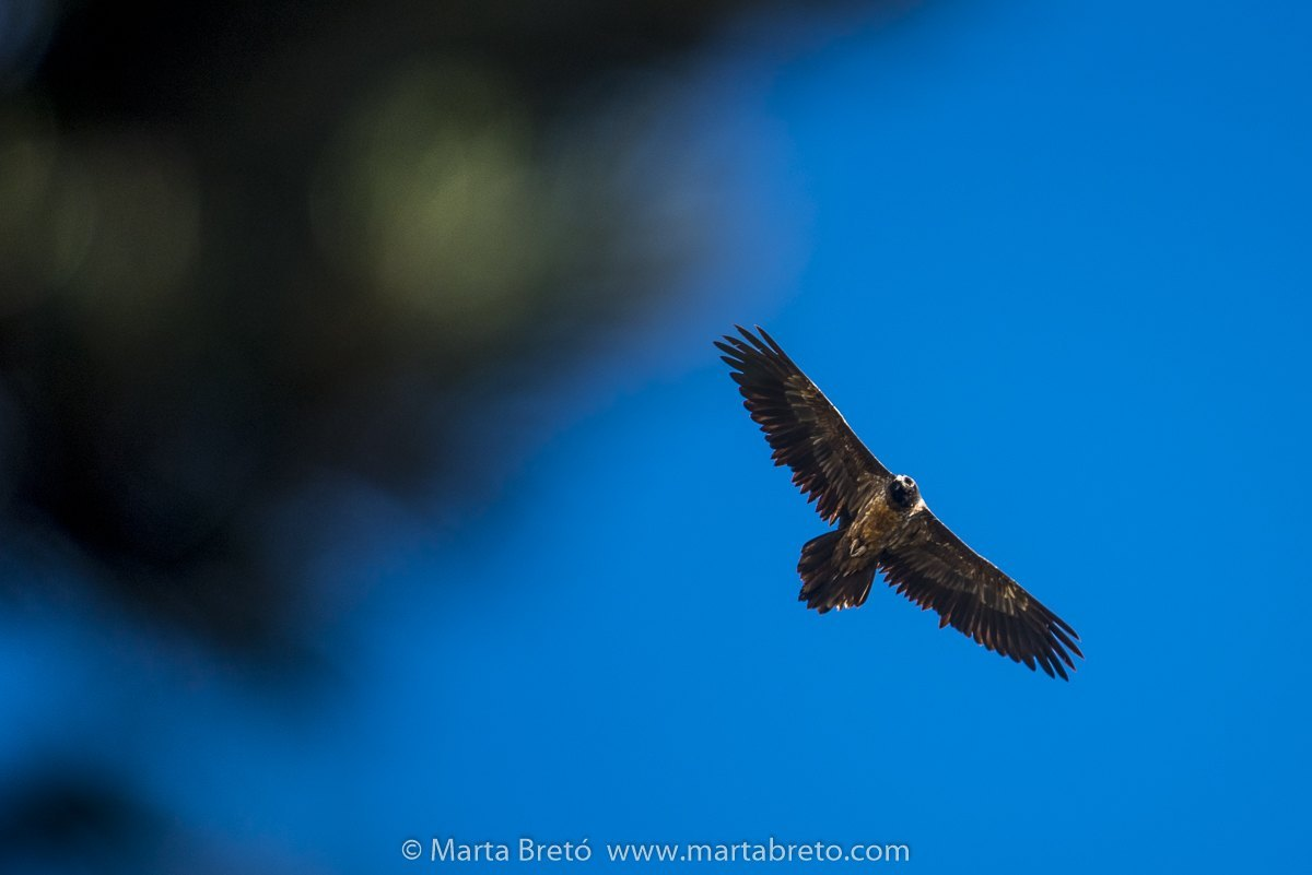 First photo of the year. A young bearded vulture.