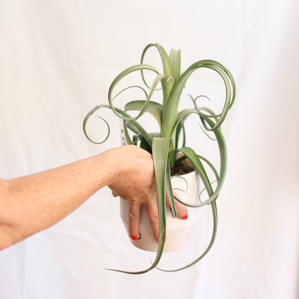 Tillandsia Curly Slim