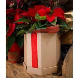 Ponsètia, la planta del Nadal