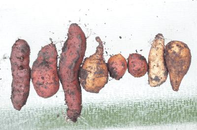 mixed variety sweet potato slips