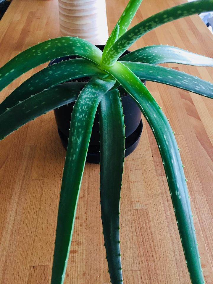 Aloe vera (aloa pravá) na popáleniny, rany a bolesti brucha