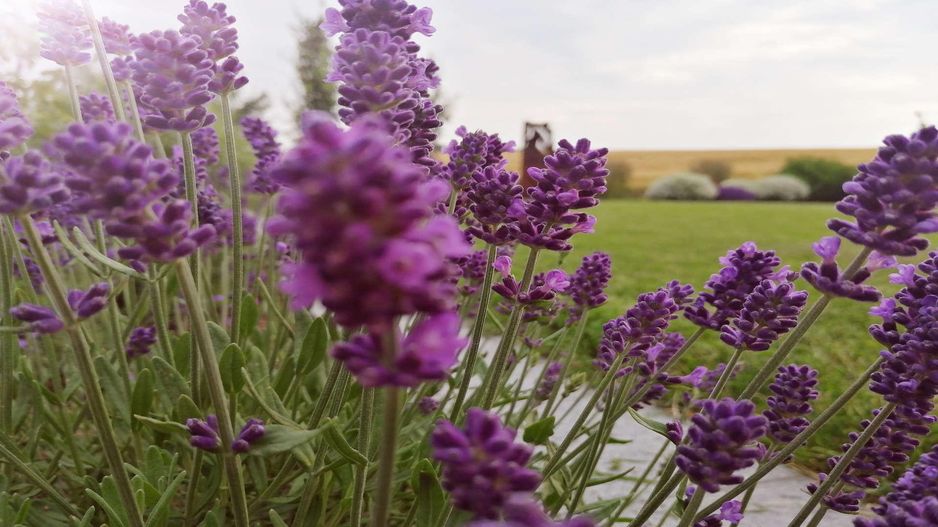 Bodendecker, für 2. Blüte, schneiden