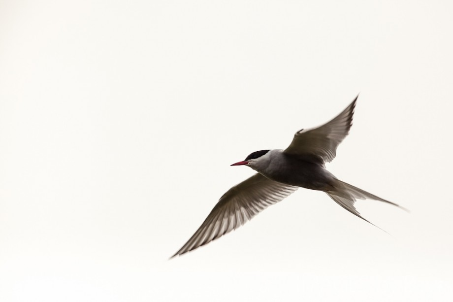 Arctic Tern Image