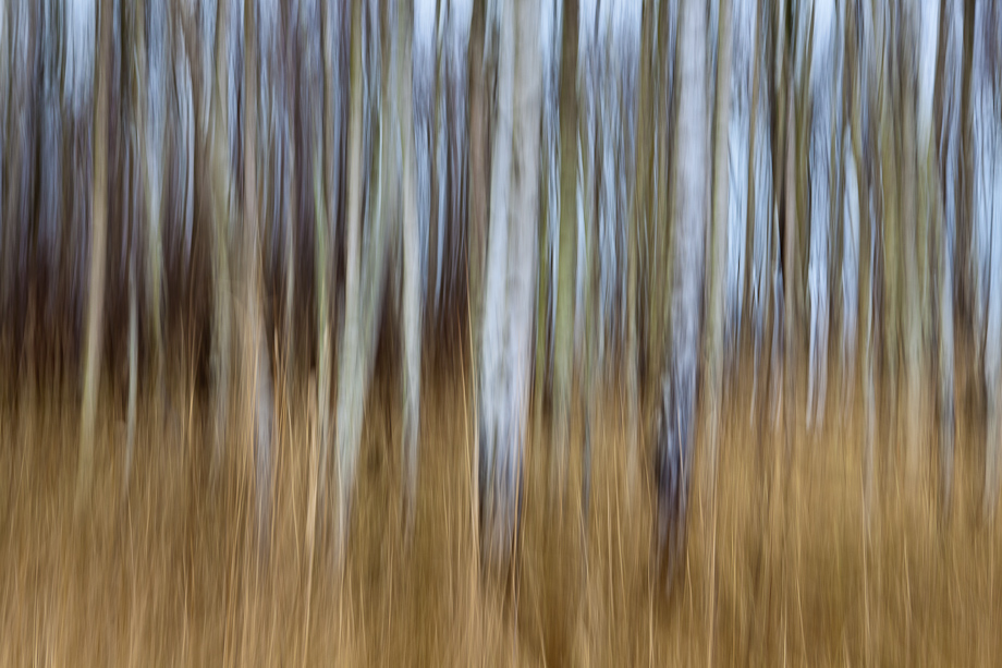 Blur Birch Trees in Colour