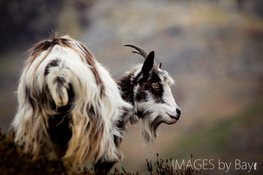 Image of Feral goat