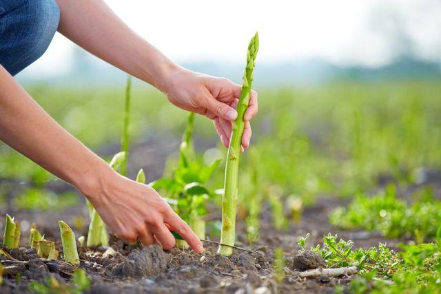 harvesting_asparagus.jpg.838x0_q80.jpg