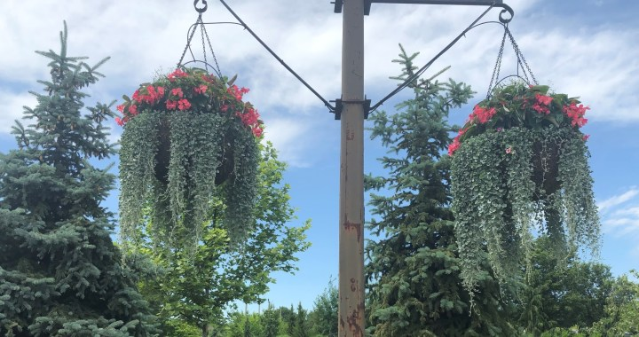 Admire Martin City's hanging baskets? Here's the secret behind the luscious blooms