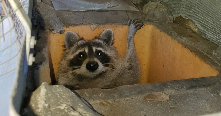 Wildlife in the big city: What to do when your home becomes theirs