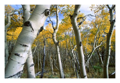 Richard Heinze shot this aspen grove in the Sawatch Range of southern Colorado.