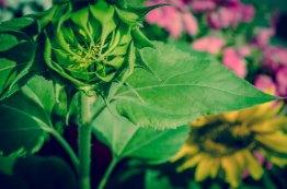 74_Parait que je photographie trop de tournesols...