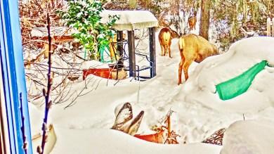Deer Family Passing Through the Sculpture Garden, Sunday December 28, 3:04 to 3:17 PM