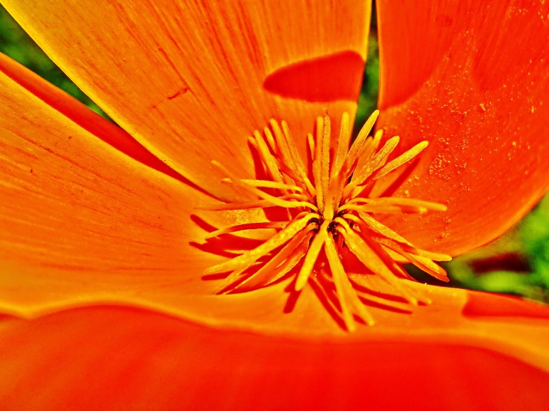 Orange Poppy Star