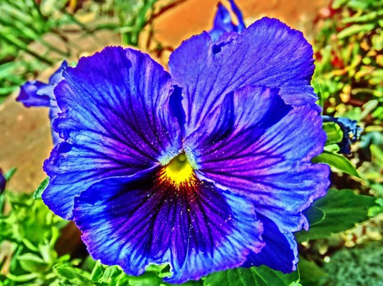 Hypnotic Blue Pansy