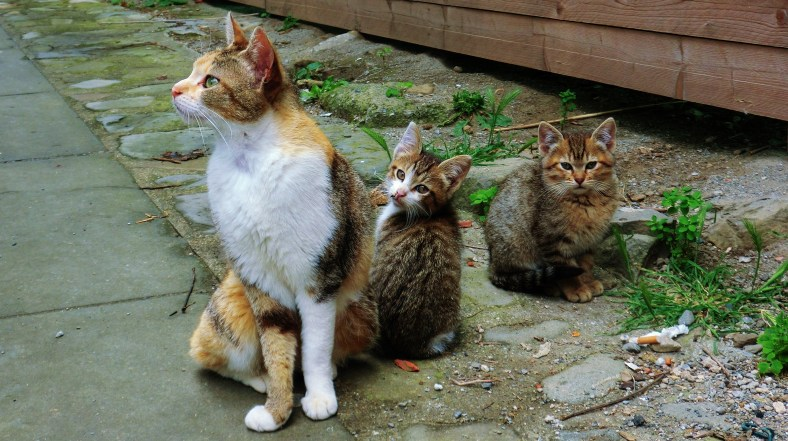 Wild Cat Family, Montereggio, Lunigiana, on the North West Tuscan Way, Italy