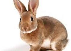 Lapin pour le lapin à la moutarde