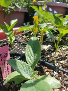 Herb and veggie starts from Annie's Annuals and Perennials.