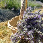 Hometown Herbalist: Summer lavender lemonade