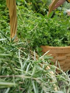 Rosemary and oregano harvest.