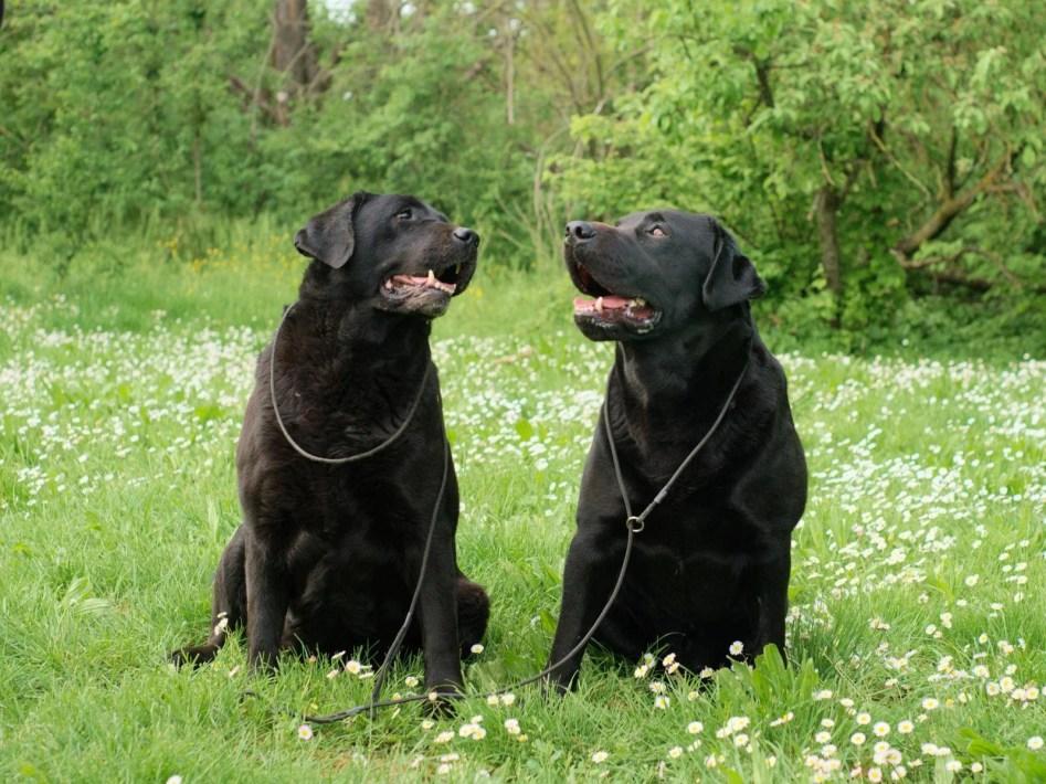 due labrador neri fotografia cinofilia