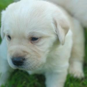 cucciolo giallo labrador
