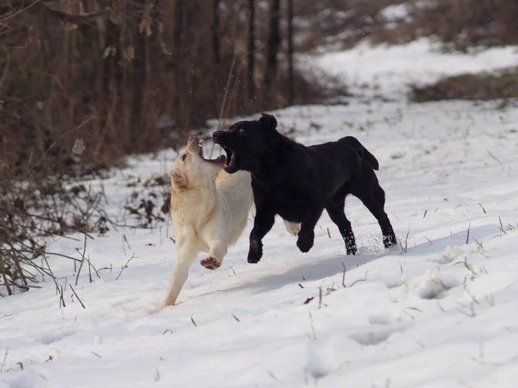 labrador retriever corsa neve