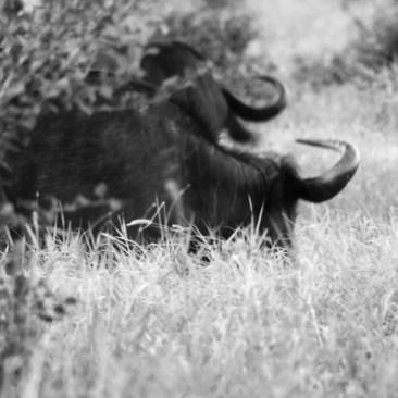 bufali dello tsavo in bianco e nero