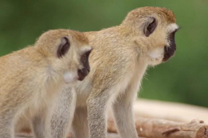 scimmie tsavo
