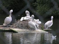 Pelicans through Netting
