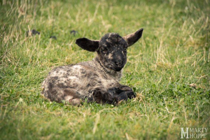 Springtime Sheep