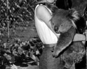 L43383 Koala