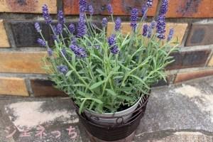 母の日 鉢植え「癒しの天然アロマ ラベンダー アロマティコ 」ラッピング外してみたよ