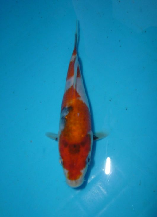 Marugen Japanese Koi For Sale, Singapore Marugen Showa Tategoi @ 3 months old Offspring of Night Trilium (Female Oyagoi: Momotaro Mako Showa) Product of Marugen Fish Farm, Singapore