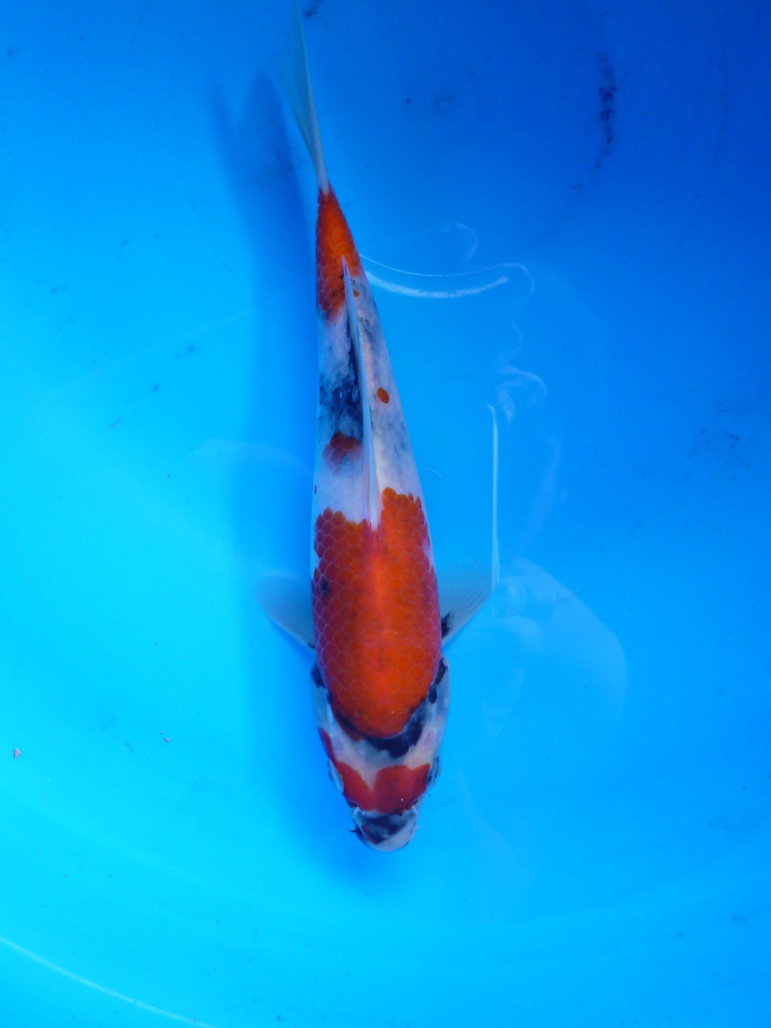 Marugen Showa Koi 5 Months Old Japanese Koi Fish For