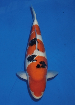 No. 57 Female Sanke 55cm Momotaro Koi Farm Auction