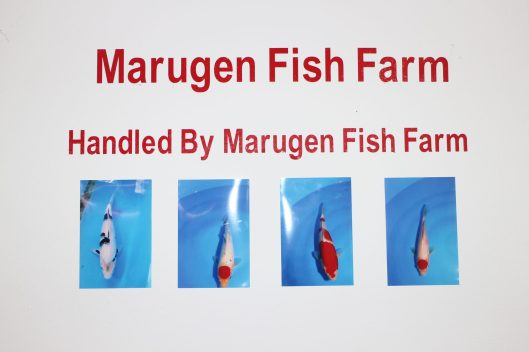 18th Singapore Koi Show & Championship 2014 4 Pieces of High Quality Marugen Kois Sponsored to Singapore Koi Club to raise funds via Koi Auction Proudly bred by Marugen Koi Farm