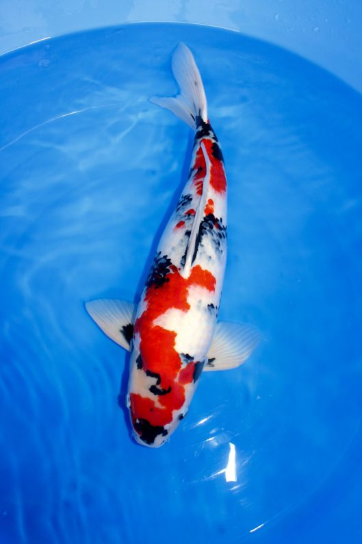 Kindai Showa For Sale Bred by Isa Koi Farm