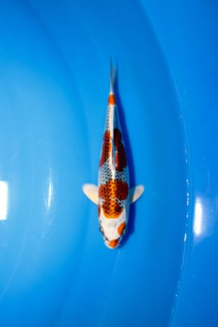 "Kujaku Offspring of ""J Blessing"" Bred by Marugen Koi Farm"
