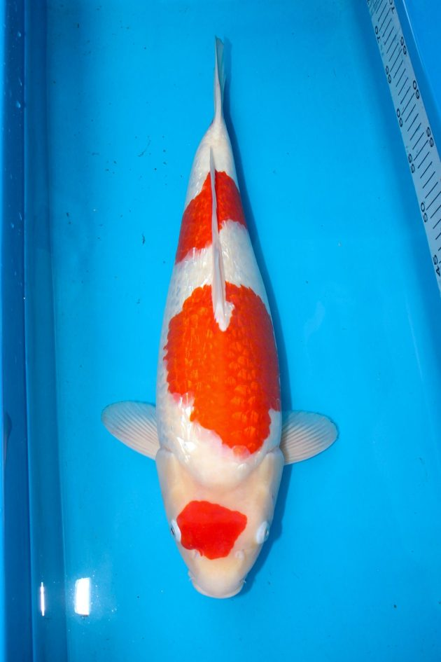"Kinginrin Kohaku Jumbo Tosai (Female) 50cm @ 11months old Offspring of ""Ms MB"" Bred by Marugen Koi Farm"