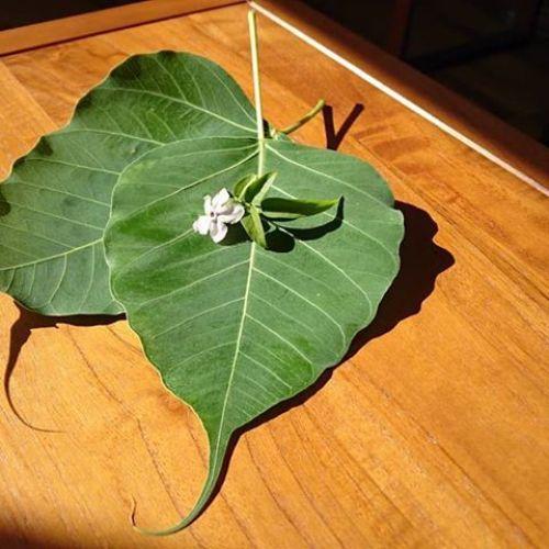 お客さまの庭のインド菩提樹の葉とジャスミンの花。